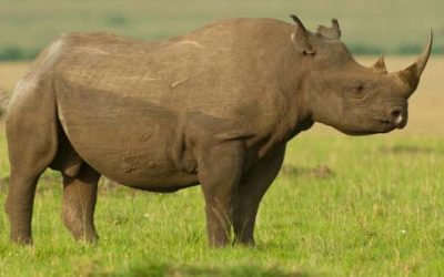 African Black Rhino: Some Eye-Opening Facts