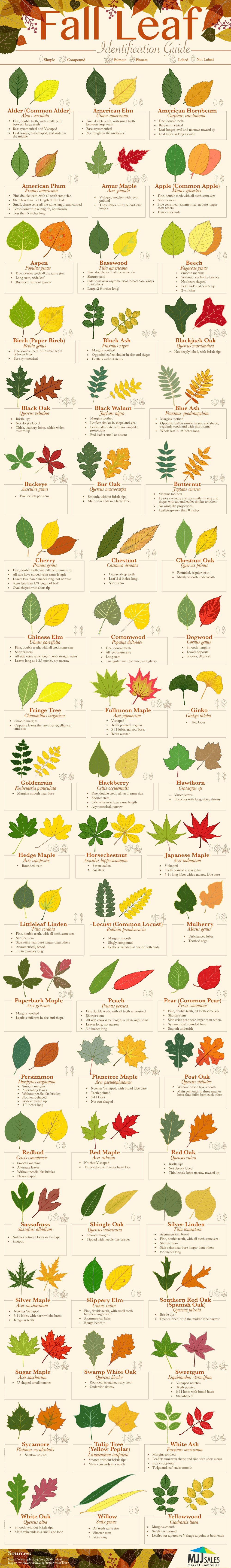 Fall Leaf Identification Guide