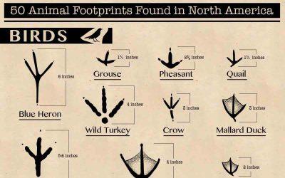 50 Animal Footprints Found in North America