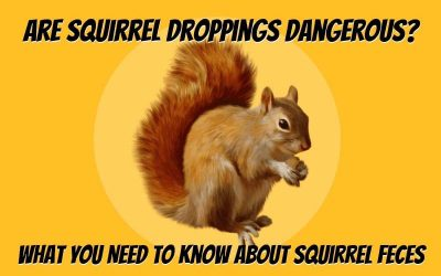 Are Squirrel Droppings Dangerous?