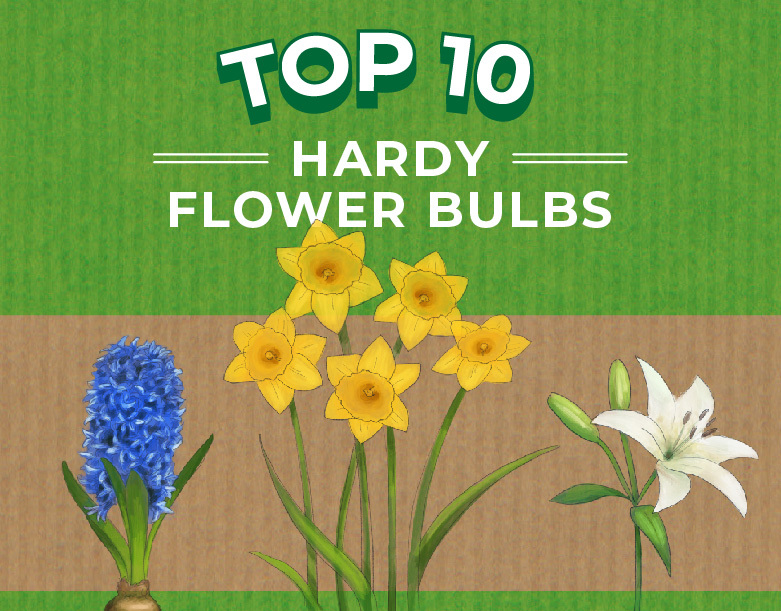 Top 10 Hardy Flower Bulbs